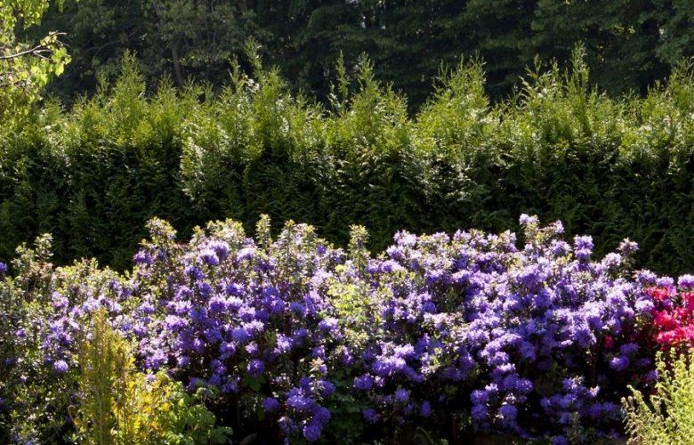 Uprawa Rhododendronów w ogrodzie.